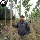 Buy Tectona Grandis Tree Seeds 80pcs Plant Golden Tik Rare Hard Wood Teak You Mu
