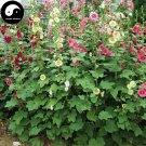 Buy Althaea Rosea Tree Seeds 240pcs Plant Althaea Rosea For Shu Kui Flower
