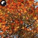 Buy Triangular Maple Tree Seeds 400pcs Plant Chinese Maple For Acer Truncatum