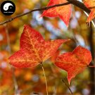 Buy Triangular Maple Tree Seeds 200pcs Plant Chinese Maple For Acer Truncatum