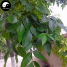 Buy Fraxinus Chinensis Tree Seeds 60pcs Plant Ash Tree For Fraxinus Bai La
