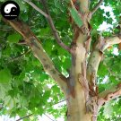 Buy Phoenix Tree Seeds 120pcs Plant Firmiana Platanifolia Tree For Wu Tong