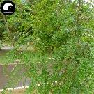 Buy Thorny Tree Seeds 240pcs Plant Paliurus Ramosissimus Tree For Thorny Tree