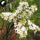Buy Xanthoceras Tree Seeds 30pcs Plant Xanthoceras Sorbifolium For Wen Guan