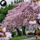 Buy Sakura Tree Seeds 240pcs Plant Prunus Serrulata For Cherry Blossoms
