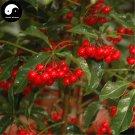 Buy Hosiei Tree Seeds 50pcs Plant Ormosia Hosiei For Chinese Red Bean Tree