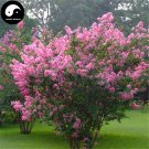 Buy Lagerstroemia Indica Tree Seeds 240pcs Plant Crape Myrtus For Zi Wei Tree