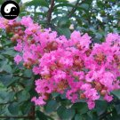 Buy Lagerstroemia Indica Tree Seeds 120pcs Plant Crape Myrtus For Zi Wei Tree