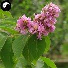 Buy Lagerstroemia Indica Tree Seeds 60pcs Plant Crape Myrtus For Zi Wei Tree