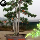 Buy Diospyros Armata Tree Seeds 15pcs Plant Chinese Gold Beard Tree Bonsai