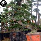 Buy Diospyros Armata Tree Seeds 60pcs Plant Chinese Gold Beard Tree Bonsai