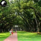 Buy Oak Tree Seeds 60pcs Plant Chinese Quercus Acuta Tree For Quercus Xiang Shu