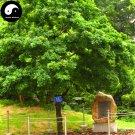 Buy Oak Tree Seeds 30pcs Plant Chinese Quercus Acuta Tree For Quercus Xiang Shu