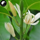 Buy Magnolia Tree Seeds 200pcs Plant Magnolia Denudata For White Flower Yu Lan