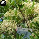 Buy Ilex Chinensis Tree Seeds 240pcs Plant Holly Tree For Chinese Dong Qing