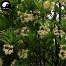 Buy Ilex Chinensis Tree Seeds 120pcs Plant Holly Tree For Chinese Dong Qing