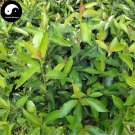 Buy Ilex Chinensis Tree Seeds 60pcs Plant Holly Tree For Chinese Dong Qing