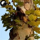 Buy Platanus Tree Seeds 100pcs Plant Platanus Orientalis Tree For Xuan Ling Mu