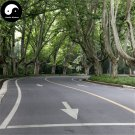 Buy Platanus Tree Seeds 50pcs Plant Platanus Orientalis Tree For Xuan Ling Mu