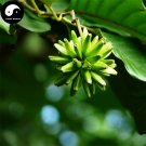 Buy Camptotheca Tree Seeds 50pcs Plant Camptotheca Acuminata Tree For Xi Shu