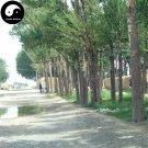 Buy Erythrophleum Fordii Tree Seeds 30pcs Plant Hard Wood Tali For Chinese Ge Mu