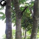 Buy Erythrophleum Fordii Tree Seeds 15pcs Plant Hard Wood Tali For Chinese Ge Mu