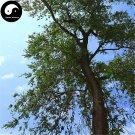 Buy White Elm Tree Seeds 200pcs Plant Ulmus Pumila For Chinese Elm Yu Shu