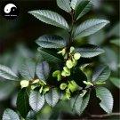 Buy White Elm Tree Seeds 50pcs Plant Ulmus Pumila For Chinese Elm Yu Shu