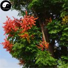 Buy Golden Rain Tree Seeds 120pcs Plant Koelreuteria Chinensis Chinese Luan Shu
