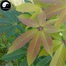 Buy Aesculus Tree Seeds 10pcs Plant Aesculus Chinensis For Seven Leaves Tree