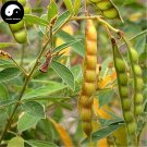 Buy Cajanus Cajan Tree Seeds 200pcs Plant Wood Bean For Cajanus Mu Dou Tree
