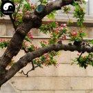 Buy Silk Begonia Tree Seeds 120pcs Plant Begonia Evansiana For Chinese Hai Tang