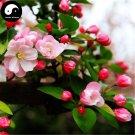 Buy Silk Begonia Tree Seeds 30pcs Plant Begonia Evansiana For Chinese Hai Tang