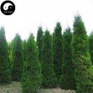 Buy Sabina Chinensis Tree Seeds 200pcs Plant Pyramidalis Cypress For Sabina Tree