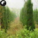 Buy Sabina Chinensis Tree Seeds 100pcs Plant Pyramidalis Cypress For Sabina Tree