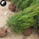 Buy Sabina Chinensis Tree Seeds 50pcs Plant Pyramidalis Cypress For Sabina Tree