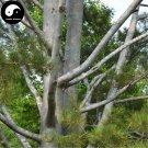 Buy Pinus Bungeana Tree Seeds 50pcs Plant White Pine For Chinese Bai Pi Song