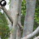 Buy Pinus Bungeana Tree Seeds 25pcs Plant White Pine For Chinese Bai Pi Song