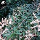 Buy Purpus Priver Tree Seeds 100pcs Plant Ligustrum Quihoui For Chinese Privet
