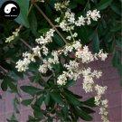 Buy Purpus Priver Tree Seeds 50pcs Plant Ligustrum Quihoui For Chinese Privet