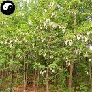 Buy Pigeon Tree Seeds 40pcs Plant Davidia Involucrata Tree Gong Tong Shu