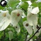 Buy Pigeon Tree Seeds 20pcs Plant Davidia Involucrata Tree Gong Tong Shu