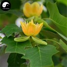 Buy Chinese Tulip Tree Seeds 50pcs Plant Liriodendron Chinensis Tree For Ma Gua Shu