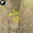 Buy Chinese Aurea Acer Negundo Tree Seeds 30pcs Plant Compound Leaf Maple Tree