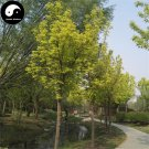Buy Chinese Aurea Acer Negundo Tree Seeds 120pcs Plant Compound Leaf Maple Tree