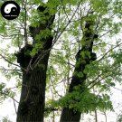 Buy Fraxinus Mandshurica Tree Seeds 200pcs Plant Fraxinus Mandshurica Tree For Wood