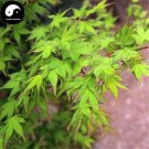 Buy Green Leaf Maple Tree Seeds 50pcs Plant Acer Palmatum Tree For Chinese Maple