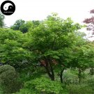 Buy Green Leaf Maple Tree Seeds 200pcs Plant Acer Palmatum Tree For Chinese Maple