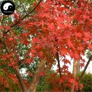 Buy Red Leaf Maple Tree Seeds 100pcs Plant Atropurpureum Tree For Chinese Maple