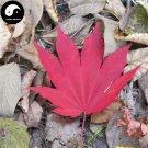 Buy Red Leaf Maple Tree Seeds 50pcs Plant Atropurpureum Tree For Chinese Maple